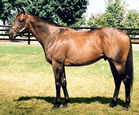 Dark Chestnut Thoroughbred