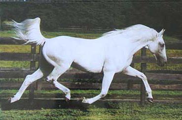 Rare Albino Horses Grey Many people see a horse
